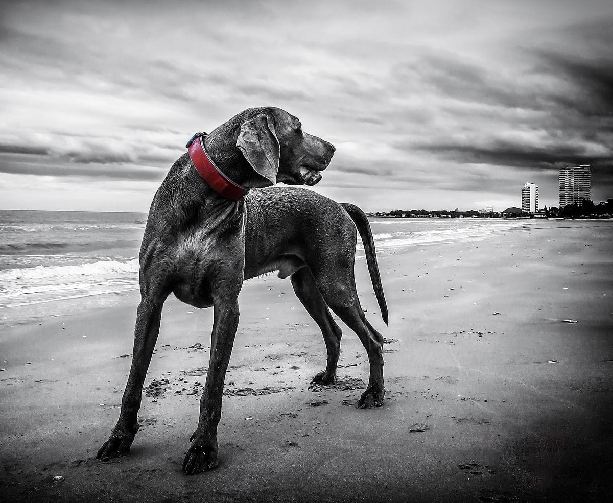 सपने में कुत्ता देखने का मतलब - Dream Of Dog Meaning