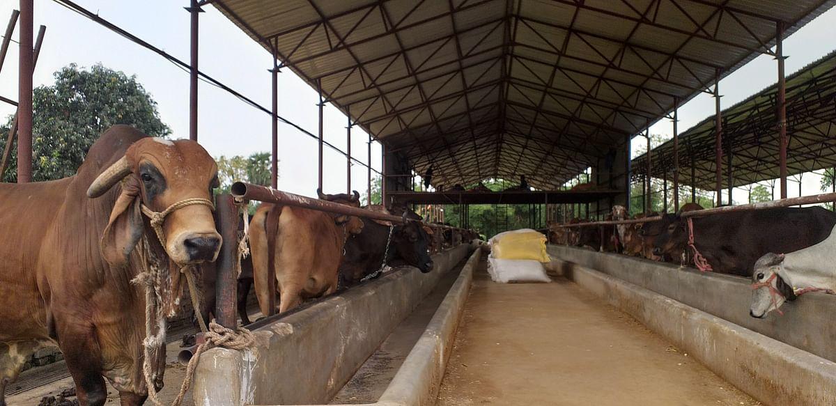 भोजपुर सहित शाहाबाद प्रक्षेत्र में लॉक डाउन के दौरान पशुपालक परेशान,दूध की बिक्री पर पड़ा असर