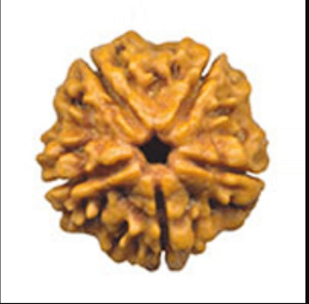 पंचमुखी रुद्राक्ष - Paanch Mukhi Rudraksha