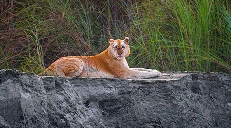 काजीरंगा नेशनल पार्क में मिला देश का एकमात्र गोल्डन टाइगर