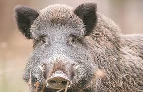जंगली सुअर ने हमला कर ले ली किसान की जान