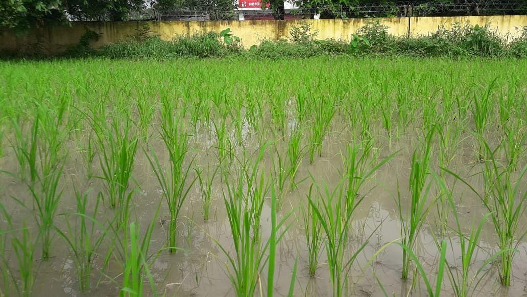 बारिश एवं तापमान को लेकर धान में होने वाले रोगो को करें नियंत्रित : डॉ. सुनीता कुशवाहा