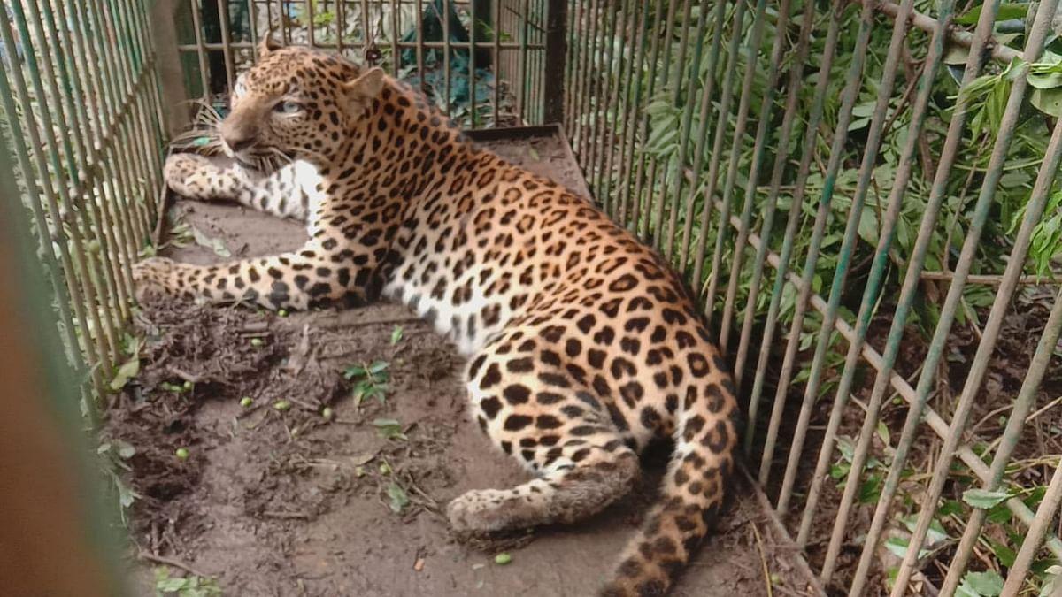 आतंक का पर्याय बना तेंदुआ पिंजरे में कैद