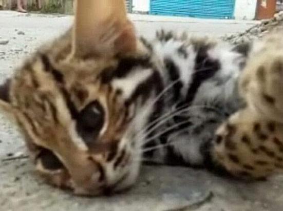 भीमताल में मृत मिली दुर्लभतम श्रेणी की 'जंगली बिल्ली', आवारा कुत्तों ने बुरी तरह से नोंचा