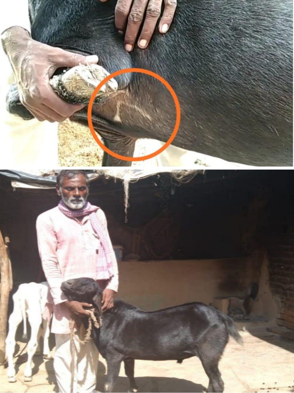 हमीरपुर: चांद बने बकरे की बोली लगी एक करोड़