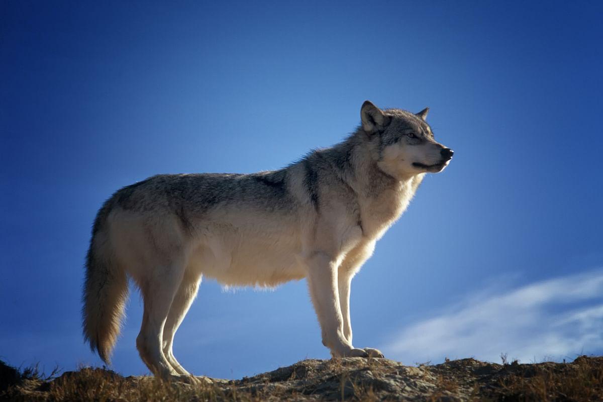 सपने में भेड़िया देखने का मतलब - Dream Of Wolf Meaning
