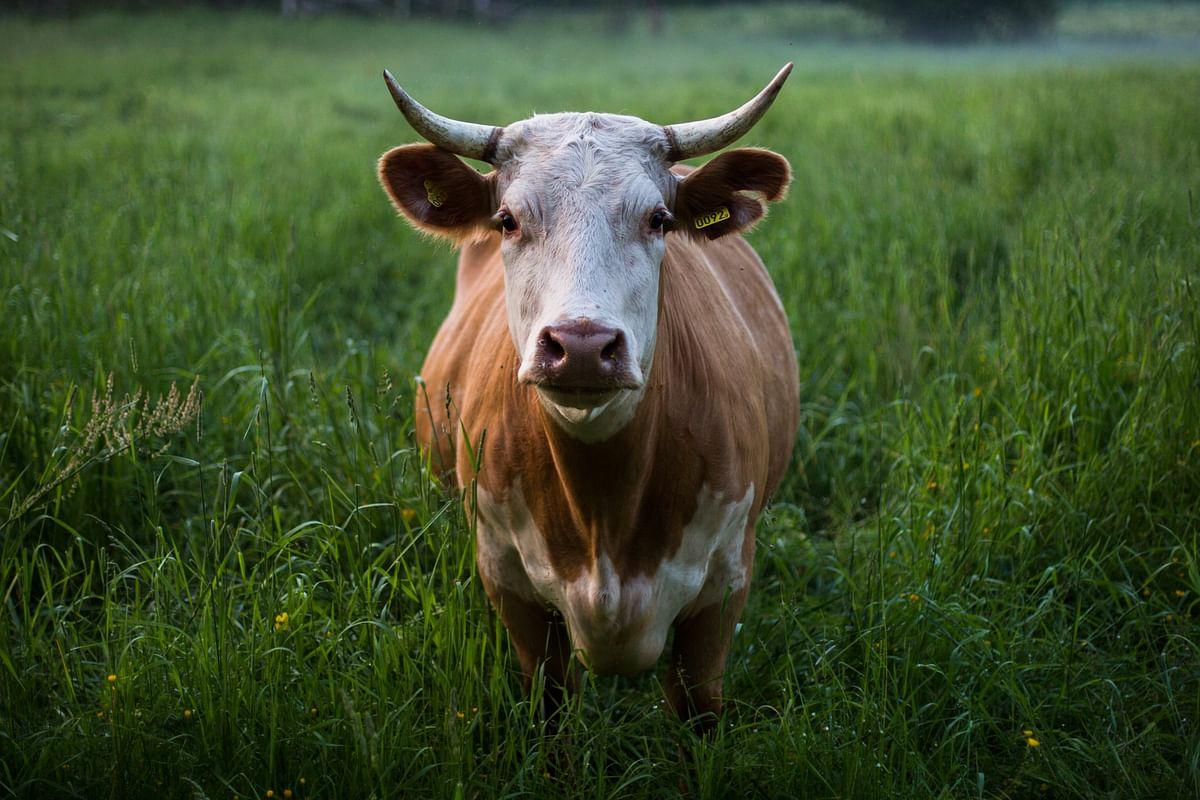 सपने में गाय देखने का मतलब - Dream Of Cow Meaning