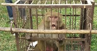 मीरजापुर के बंदर कलुआ को कानपुर में मिली उम्रकैद की सजा