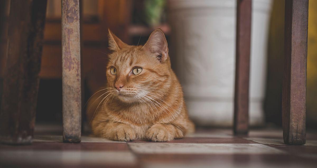 सपने में बिल्ली देखने का मतलब - Dream Of Cat Meaning