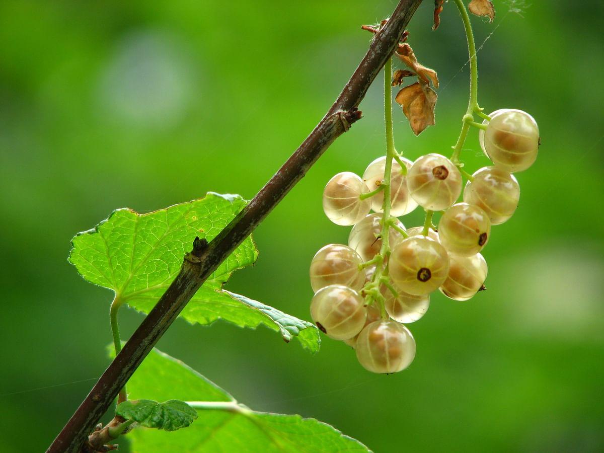 सपने में आँवला देखने का मतलब - Dream Of Indian goosberry Meaning