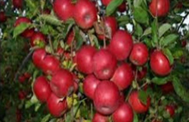 उत्तराखंडः अमेरिका समेत कई विदेशी बाजारों में भी हर्षिल के सेब की धमक