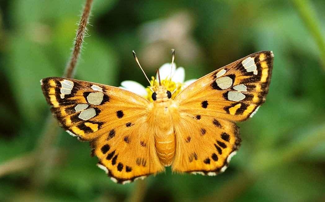 राजस्थान में मिली तितली की दो नई प्रजातियां