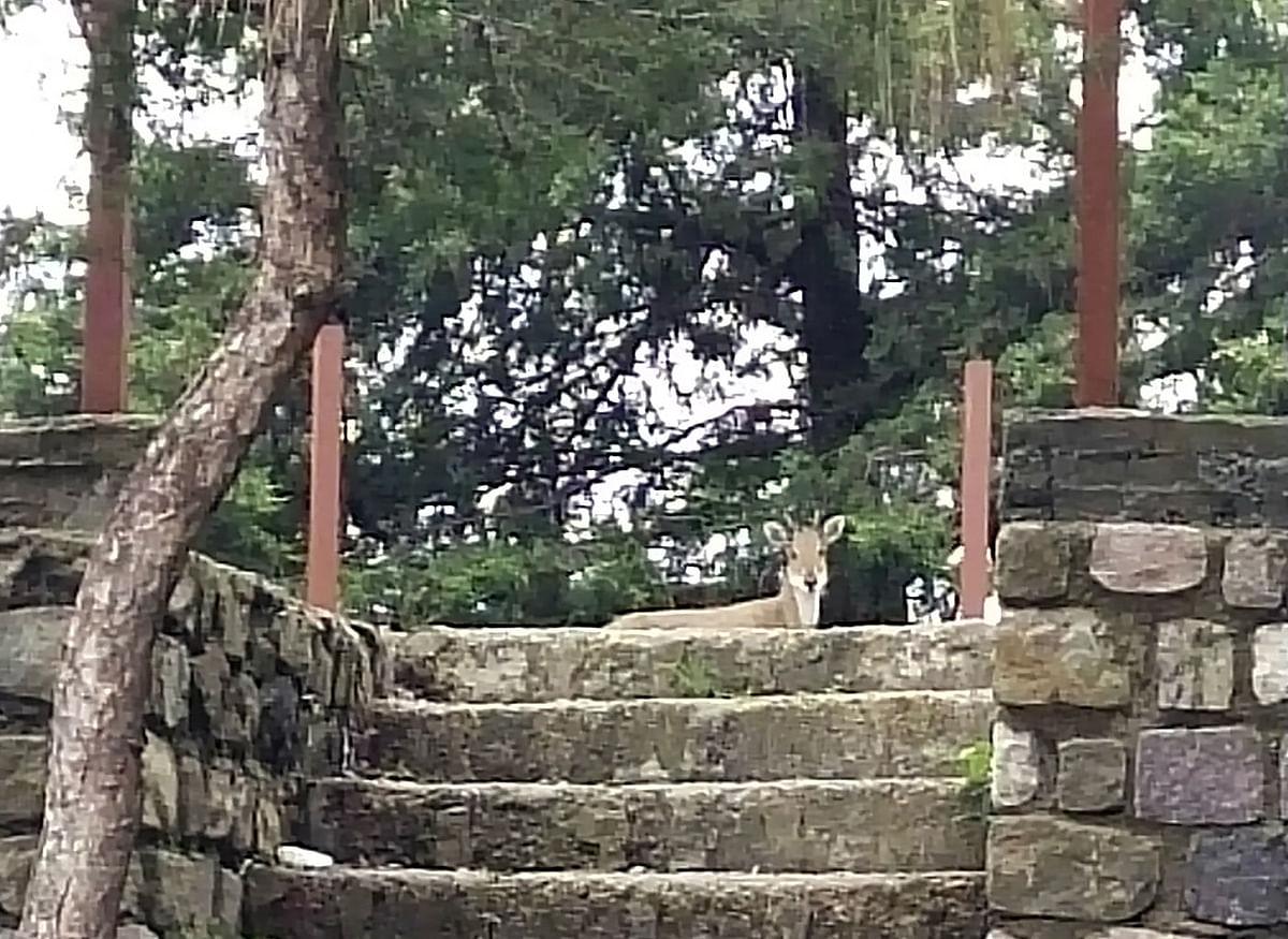 हनुमानगढ़ी क्षेत्र वन्यप्राणियों से गुलजार
