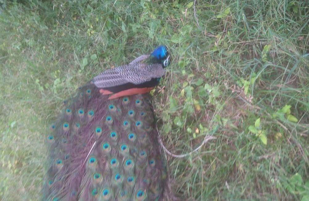 जहरीला चारा से बारह राष्ट्रीय पक्षी मोर मृत, ग्रामीणों में आक्रोश