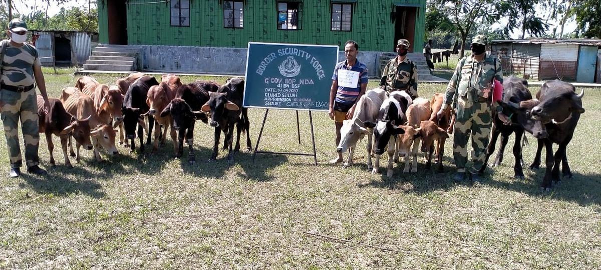 एक पशु तस्कर गिरफ्तार, 120 पशु बरामद