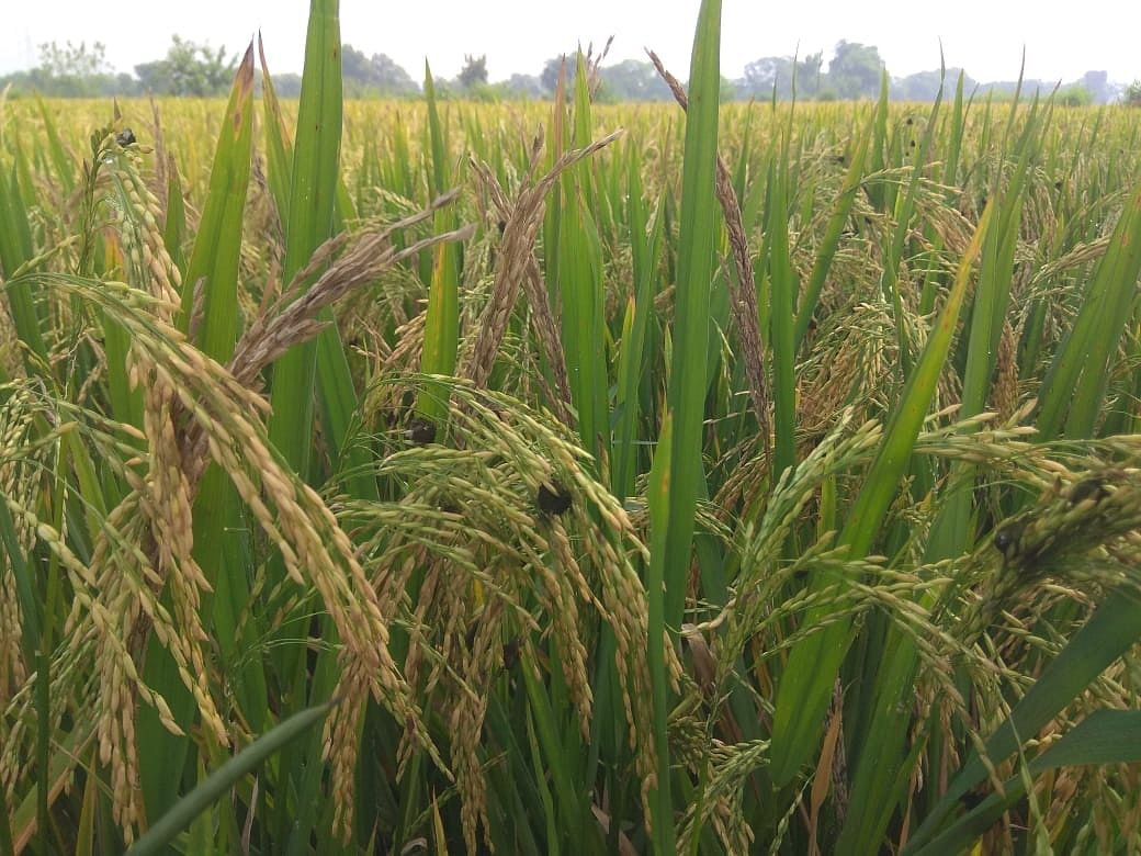 धान पर एक साथ चार बीमारियों का प्रकोप, किसान परेशान