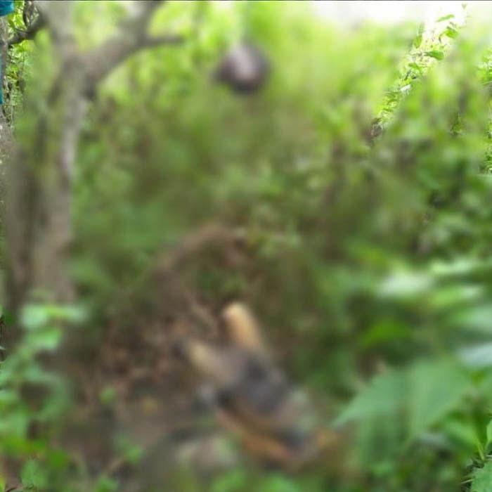 पेड़ पर लटके सिर के शरीर से अलग हुये अज्ञात शव मिला