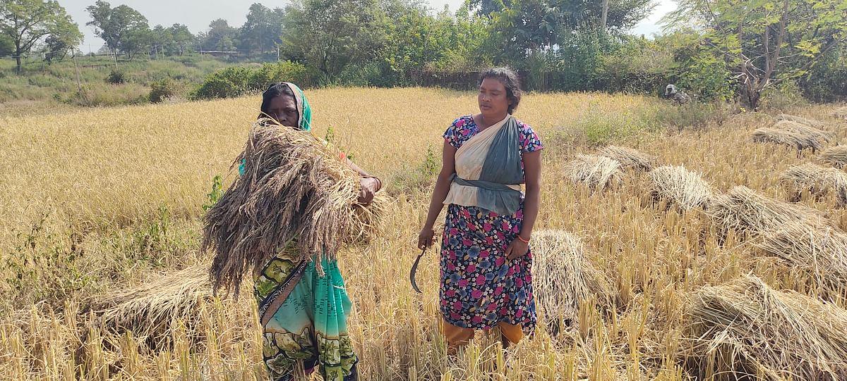 धान की दो हजार वर्ष पुरानी किस्म बदल रही किसानों की किस्मत