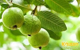 Not only guava, its leaves also have the ability to get rid of many diseases by increasing immunity.