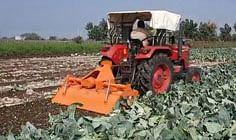 बेमौसम बारिश से खराब फूलगोभी की फसल पर किसान ने चलाया रोटावेटर