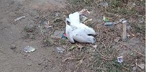 कोरबा:  जिले में कबूतरों की मौत नहीं ले रही रुकने का नाम, हाउसिंग बोर्ड कॉलोनी में एक कबूतर की मौत