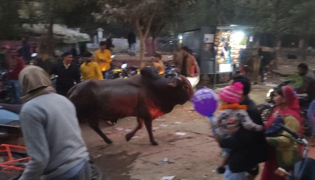 नए साल का जश्न मनाने पहुंचे लोगोंं पर सांड और भैंसोंं का हमला,कई महिलाएं व बच्चे घायल