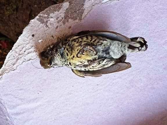 गोपेश्वर नगर में मृत पक्षी मिला