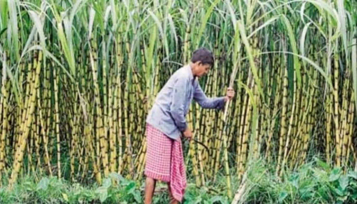 गन्ना किसानों की बल्ले-बल्ले, तीन नई प्रजातियां स्वीकृत