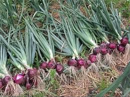 कई विटामिनों से भरपूर प्याज की खेती है फायदेमंद, रोपाई करते समय पौध को करें दवा से उपाचारित