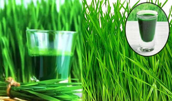 धरती की संजीवनी है गेहूं के जवारे, जानिए इसके बेहतरीन फायदे...