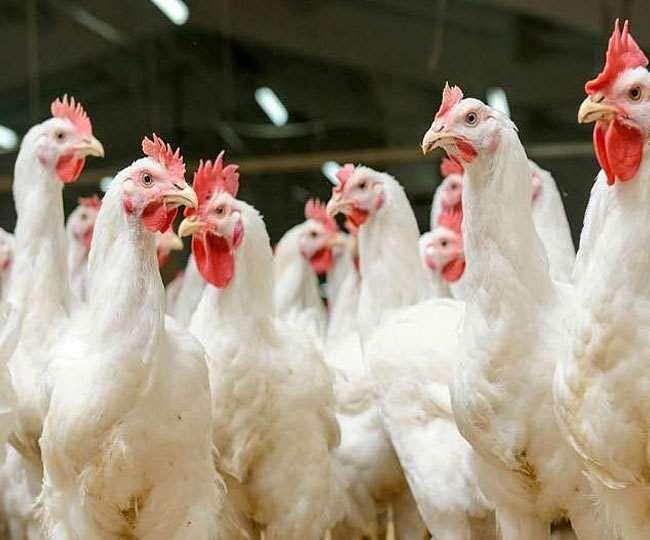 धमतरी : धमतरी में बर्ड फ्लू ने दी दस्तक  ग्राम छाती के मुर्गियों में बर्ड फ्लू की पुष्टि