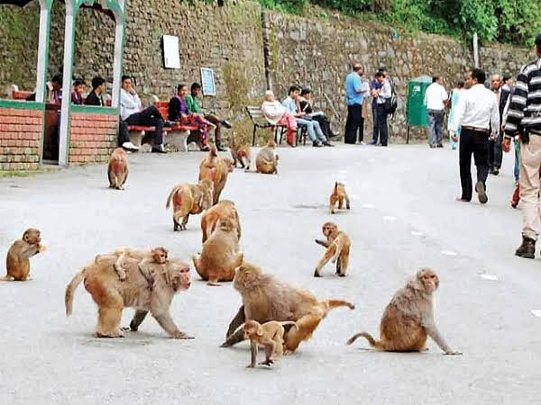 Forest Department revoked permission to catch monkeys