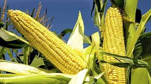 yogi-government-changed-fortunes-of-maize-groundnut-farmers-created-new-record-in-procurement
