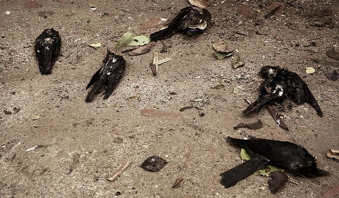 35 crows killed in Delhi amid bird flu threat, samples sent for examination