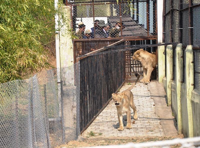 इटावा : लॉयन सफारी से शेर पटौदी और शेरनी मरियम गोरखपुर रवाना