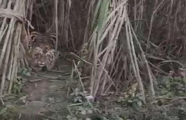 सुभाषनगर में गन्ने के खेत में बैठा दिखा बाघ, दहशत में नागरिक
