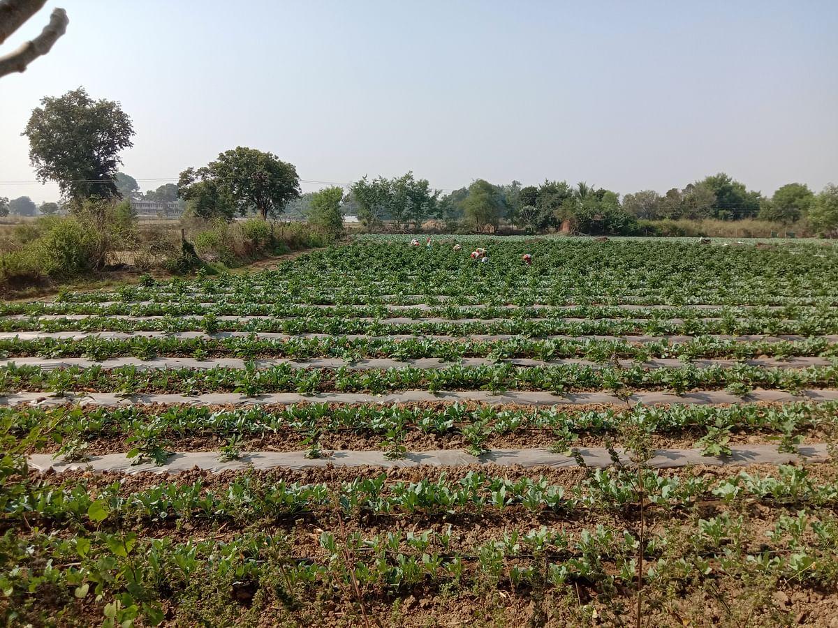 धमतरी : बेमौसम बारिश और तेज हवा से सब्जी फसल को हुआ नुकसान, किसान चिंतित