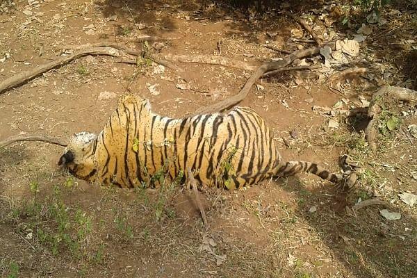 सिवनीः कुरई वनक्षेत्र में मिला एक बाघ का शव, दो गिरफतार