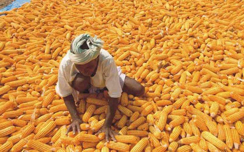 रायपुर : छत्तीसगढ़ में समर्थन मूल्य पर अब तक एक हजार छह सौ क्विंटल मक्का की खरीद