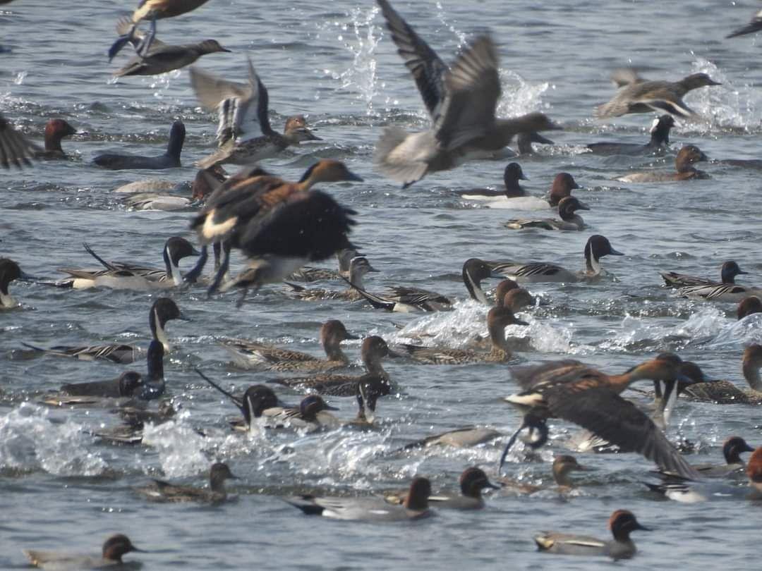 प्रवासी पक्षियो के अध्ययन के लिए बीएनएचएस चला रहा है aपक्षियों के पैरों में छल्ला पहनाने का कार्यक्रम
