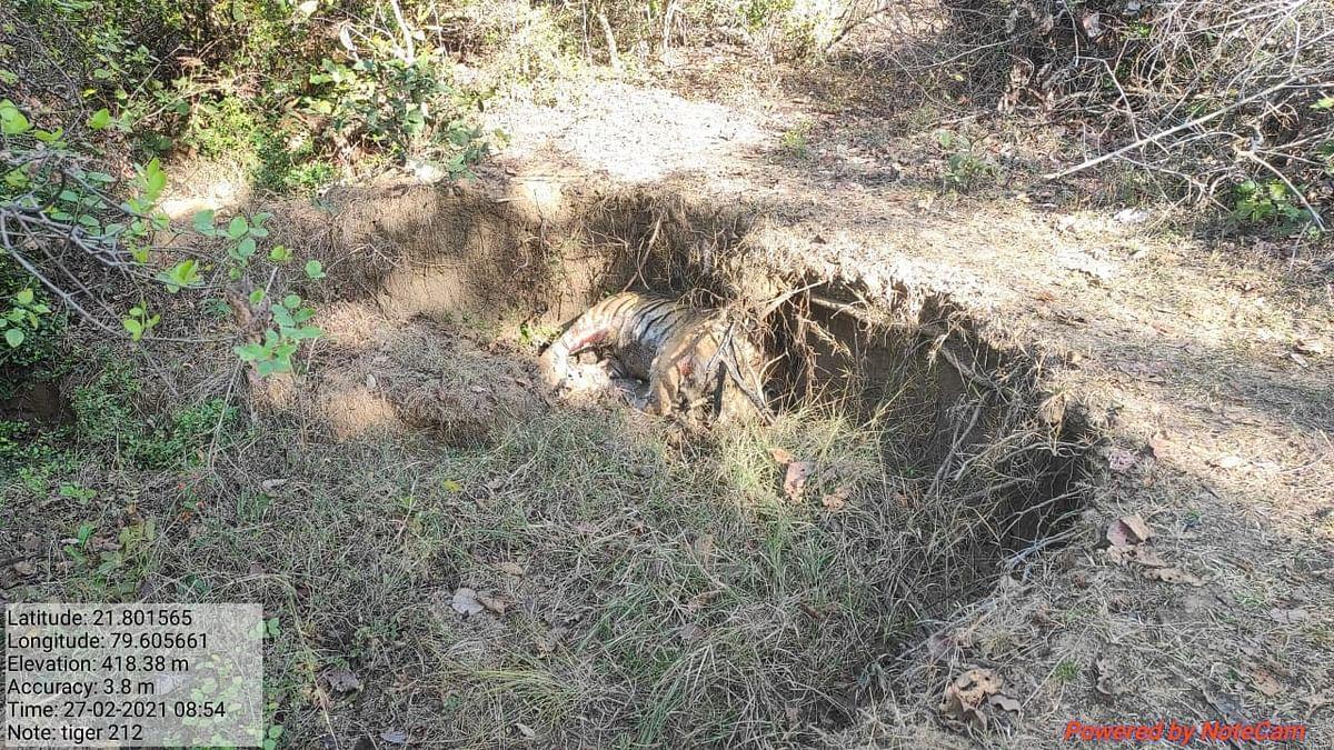 अपडेट,  करंट लगाकर किया बाघ का शिकार, 50 मीटर तक घसीटकर गढढे में फेंका शव , दो संदेही से पूछताछ जारी