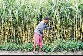 योगी सरकार ने बढ़ाई गन्ने की मिठास, बकाए के भुगतान का बना रिकॉर्ड
