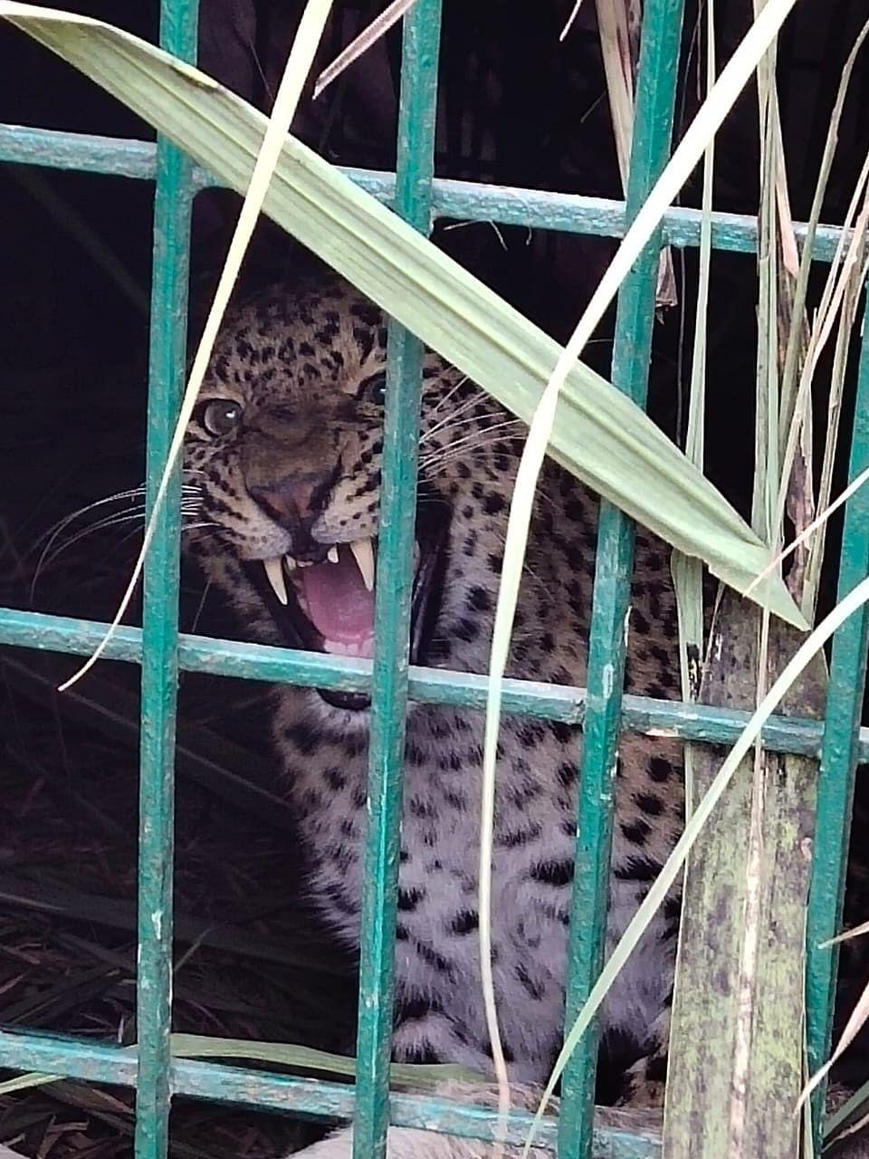 बाघ के नाम का आतंक, पकड़ी गई मादा तेंदुआ