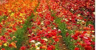 व्यवसायिक फूलों की खेती से बढ़ रही किसानों की आय