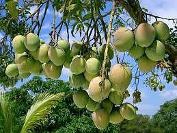 फलों के राजा आम की बागवानी को बढ़ावा दे रही प्रदेश सरकार