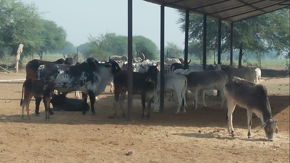 हमीरपुर : चौबीस घंटे से भूख और प्यास से छटपटा रहे मवेशी