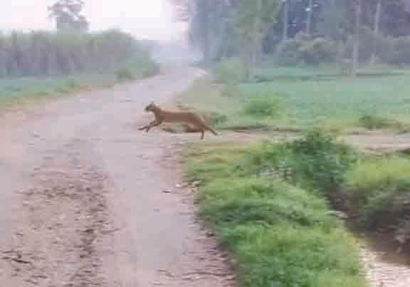 पिरान कलियर क्षेत्र में तेंदुआ की दस्तक