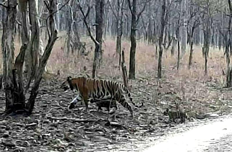 बांदा : पन्ना टाइगर रिजर्व में फिर एक बाघिन ने नन्हे शावकों को दिया जन्म