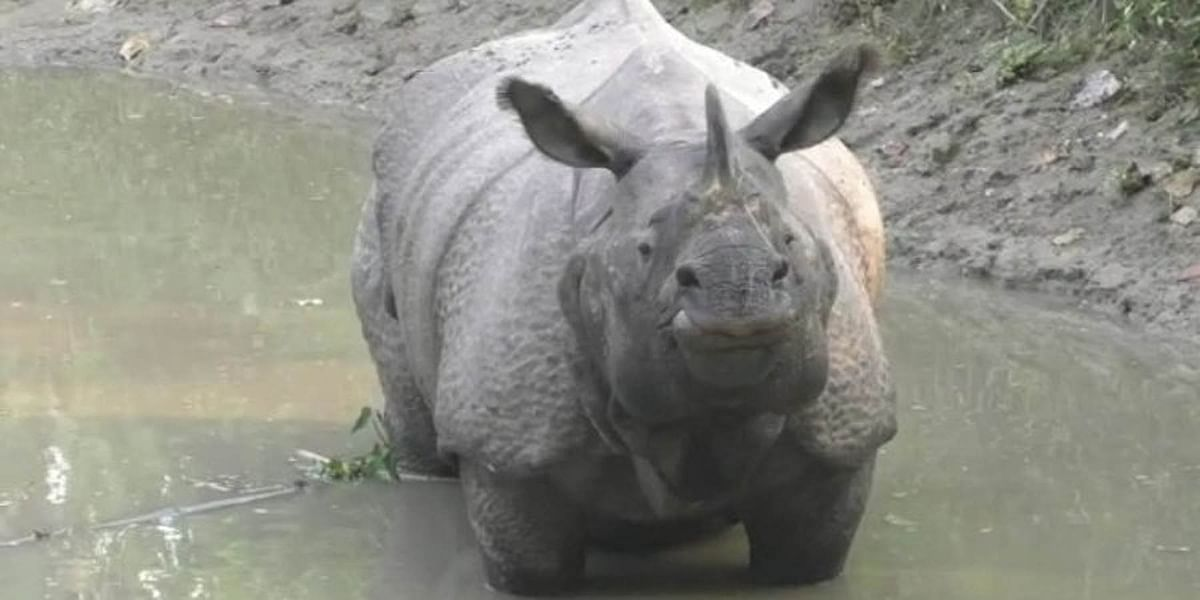 two-rhinos-come-out-of-national-park-villagers-in-panic