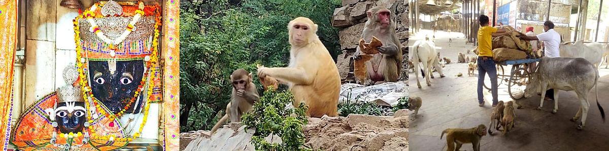 चित्रकूट : कामदगिरि पर्वत के बंदरों की भूख मिटाने को आगे आए समाजसेवी
